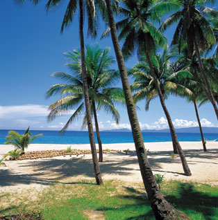 Coconut palms on the beach.