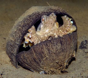 Octopus using a coconut shell for a home
