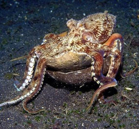 Octopus carrying a coconut shell