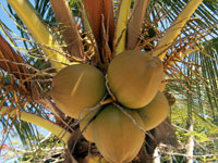 Cluster of green coconuts on a coconut palm.